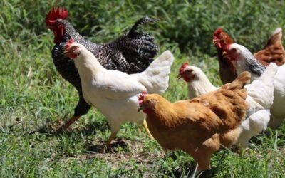 Få friske æg om morgenen med billige hønsehuse